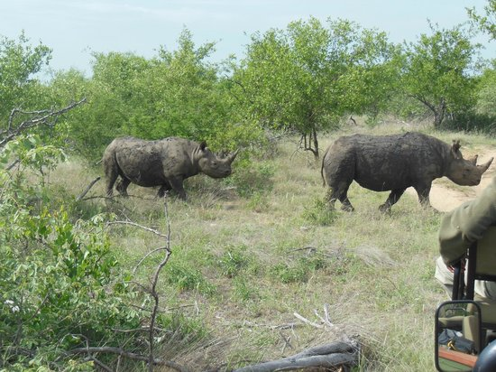 Toro Yaka Bush Lodge:                   Black rhino grazing