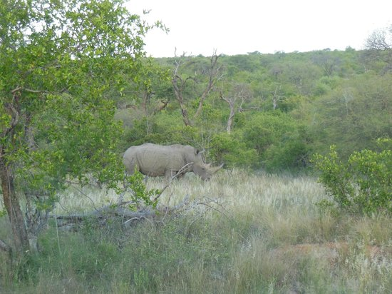 Toro Yaka Bush Lodge:                   White Rhino