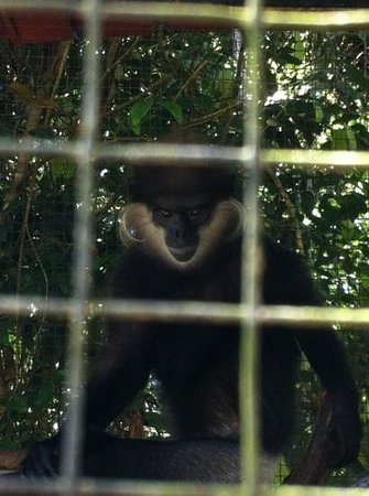 Hiyare Rainforest Reservoir:                                     purple faced leaf monkey locked in small cage. is his how th