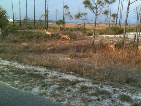 St. Joseph Peninsula State Park:                   Deer along the main park road