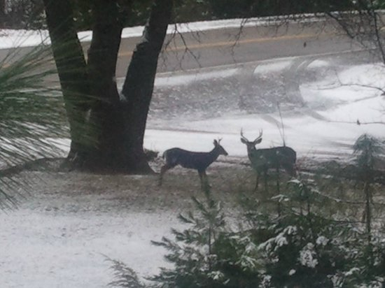 Greenville, CA: Mule Deer on the front lawn.
