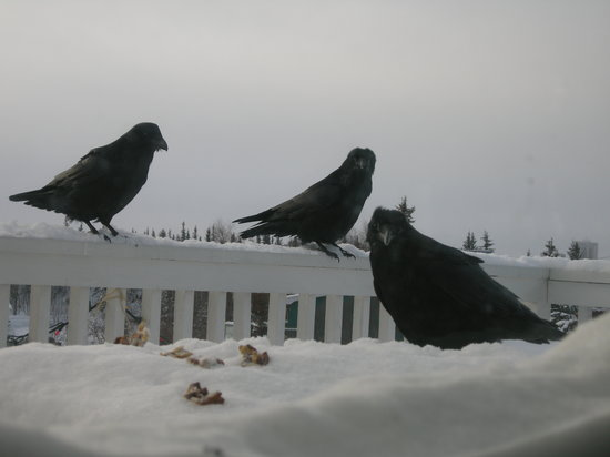 Blue Raven B&B: Feeding the ravens breakfast!