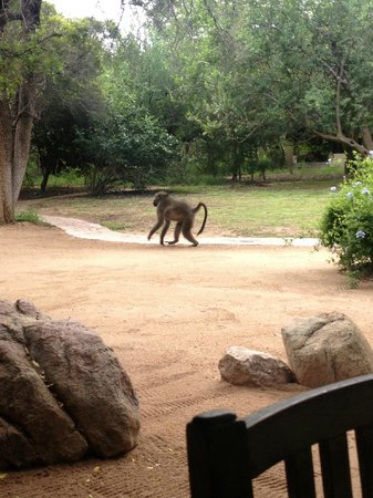 andBeyond Ngala Safari Lodge:                                     Baboon on the run!