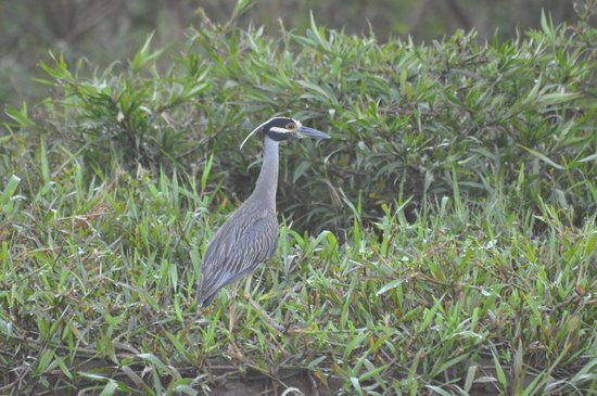 San Pedro, :                   night heron on shore of rio tarcoles
