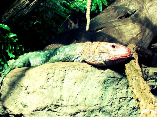 Nashville Zoo:                   Another big lizard.