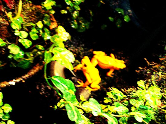 Nashville Zoo:                   Yellow frogs!
