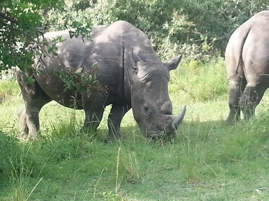 Ngerende Island Lodge:                   white rhino