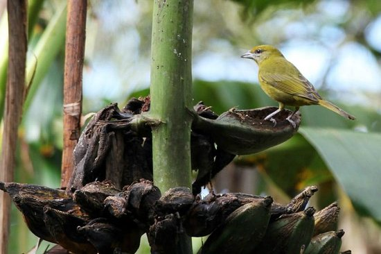 Finca Lindos Ojos:                   Bird on banana tree