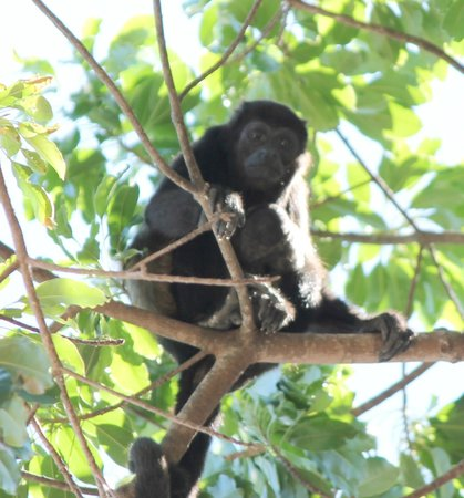 Hilton Papagayo Costa Rica Resort & Spa:                   Howler Monkey in tree near lobby