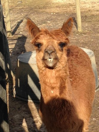 1851 Historic Maple Hill Manor Bed & Breakfast, Alpaca & Llama Farm, and Fiber Farm Store:                   Smiling for the camera!!