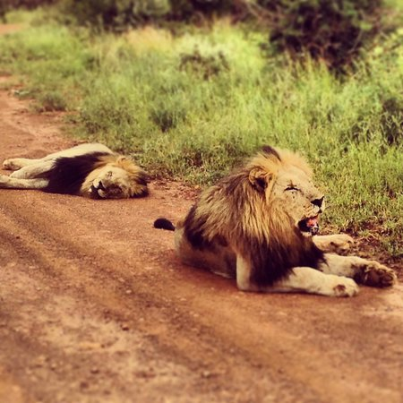 Rhulani Safari Lodge:                   Male Lions