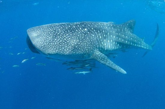 how to find whale sharks in exmouth on boat