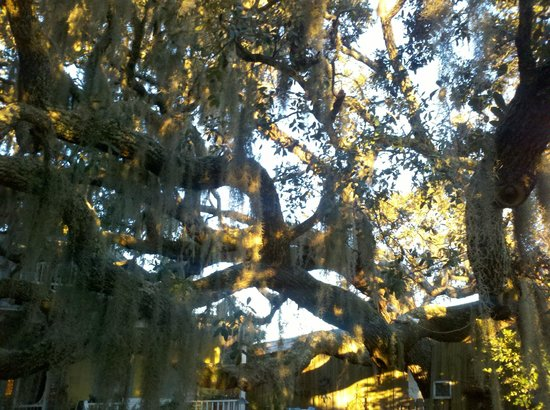 Tybee Island Inn:                   Coolest tree on the planet.