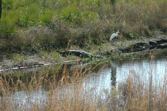 Saint Cloud, Floryda: Gator and a very Trusty Egret!