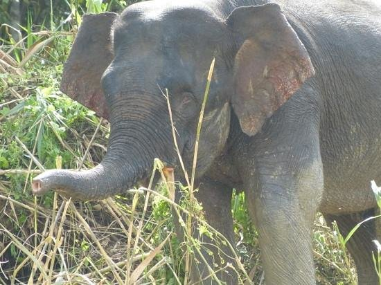 Sukau Rainforest Lodge:                   Beautiful elephant seen on the way to Lodge