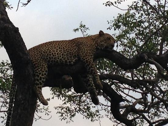 andBeyond Ngala Safari Lodge:                   leopard in a tree