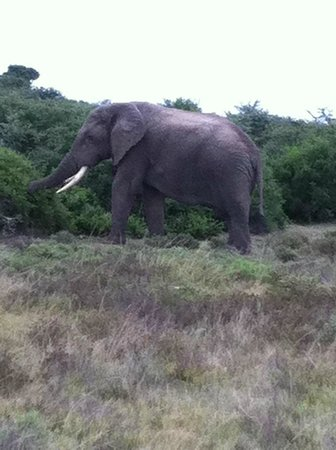 Amakhala Woodbury Tented Camp:                   Norman the elephant