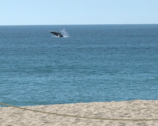 Dreams Los Cabos Suites Golf Resort & Spa: Free whale watching!
