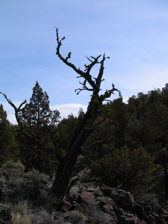 Silver Lake, OR:                   Juniper Trees and Basalt