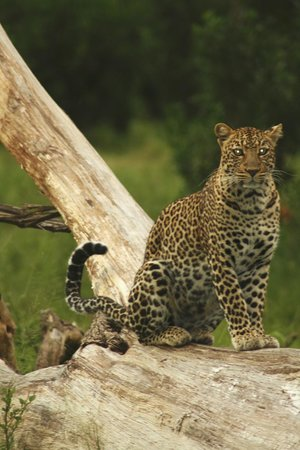 Governors' Il Moran Camp: Beautiful Leopard at Dusk