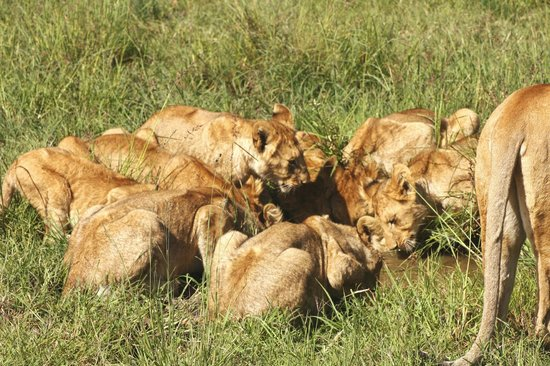 Governors' Il Moran Camp: Lion Cubs having a drink