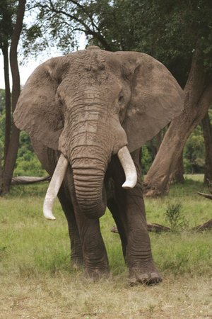 Governors' Il Moran Camp: Heritage, a collared elephant