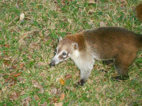 Riu Lupita Hotel: One of many coatis you will see around the resort
