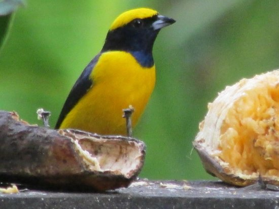 Rafiki Safari Lodge: euphonia at the feeder