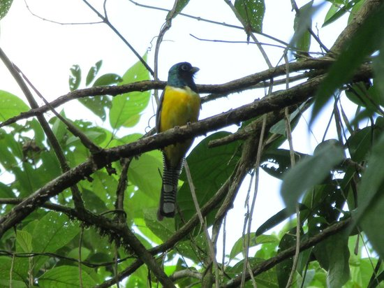 Rafiki Safari Lodge: easily seen trogon from the trail