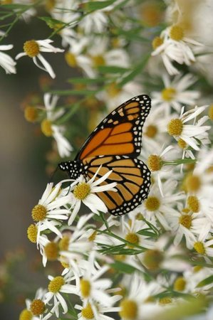 Harbour Towne Inn on the Waterfront: Monarch butterfly enjoying our daisies.