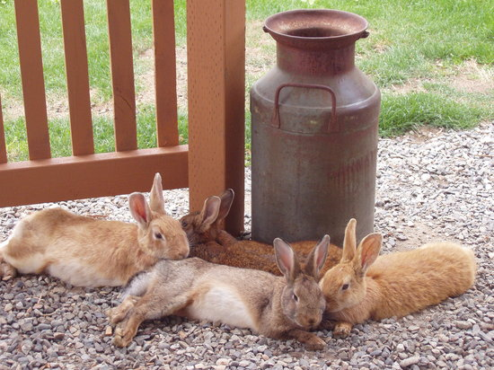 Clinton, Вашингтон: Bunnies resting at the Farmhouse