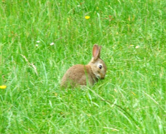 Pucklechurch, UK: Rabbit in our wildlife field