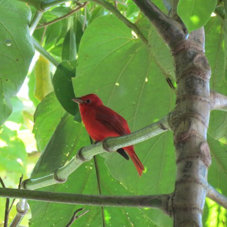 Hotel Fonda Vela:                                     Summer Tanager