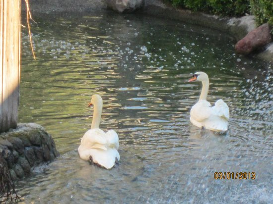 Embassy Suites Hotel Napa Valley:                   The white swans