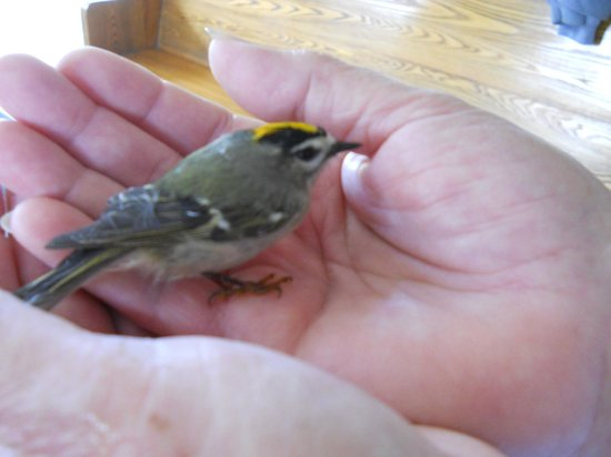 Wheatley, Canada: A little kinglet dropped in for a visit