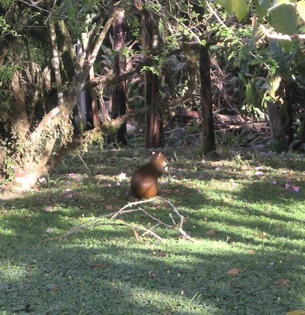 Sunset Hotel Monteverde:                   Agouti