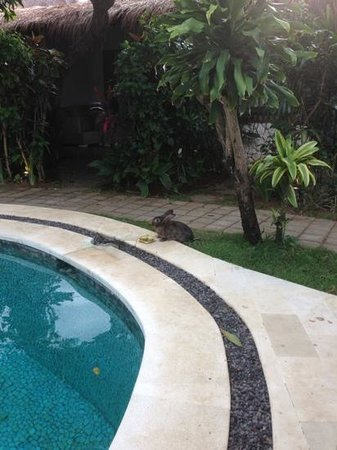 Bali Hotel Pearl:                   the resident bunny @ Hotel Pearl