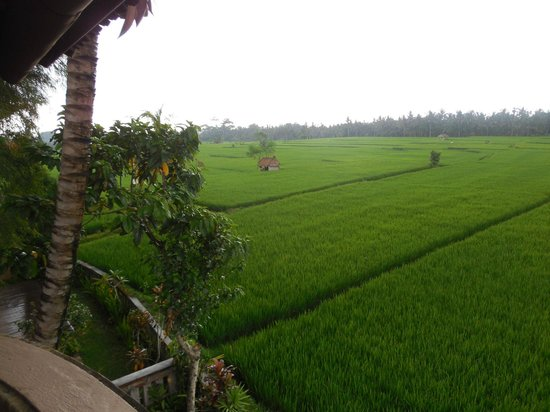 Tegal Sari:                   View of the rice paddies from our deck