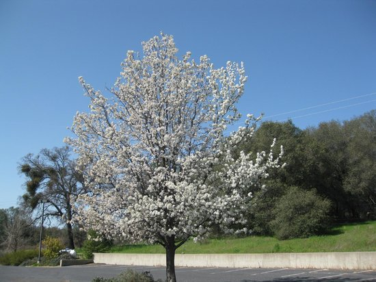 Travelodge Angels Camp: Tree in Spring