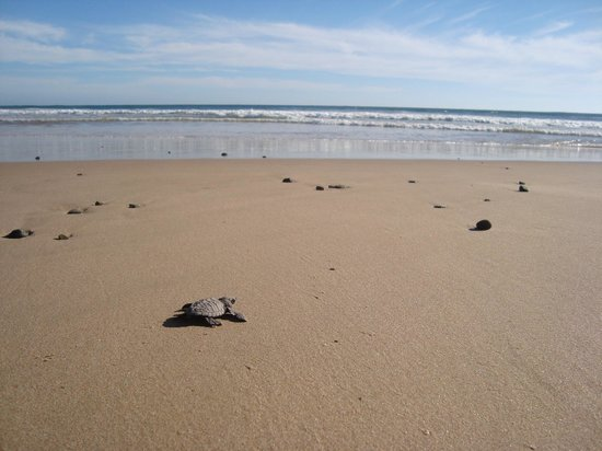 Las Alamandas:                                     Releasing newborn turtles