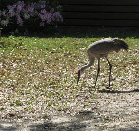 Herlong Mansion Bed and Breakfast Inn:                   This Crane walk up to us! Honest!