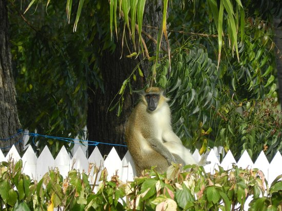 All Seasons Resort Europa:                                     Monkey on fence in All Seasons