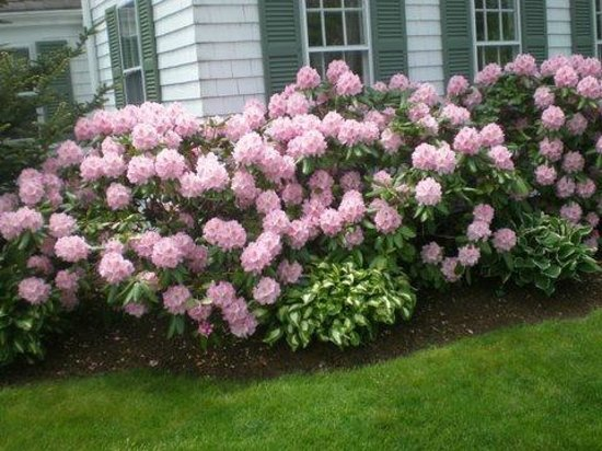 Carriage House Inn: Rhododenrons in Bloom