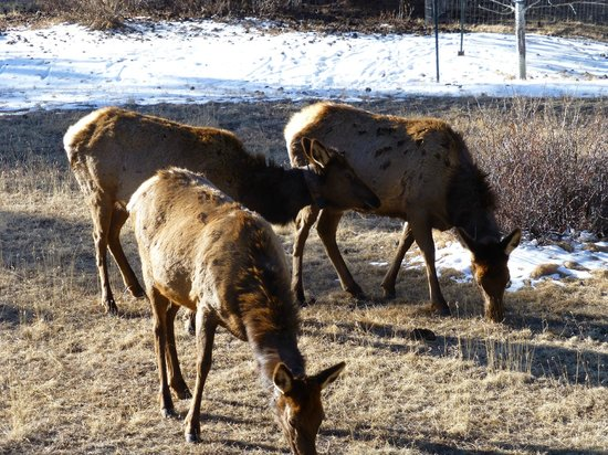 ‪‪A Mountain Valley Home B&B Inn‬: Elk in the backyard‬