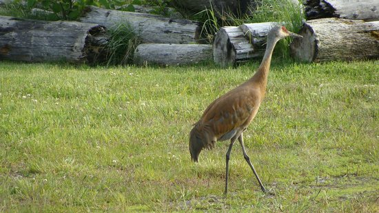 One of the cranes that come to the Beluga Lake Lodge for the last 4 years