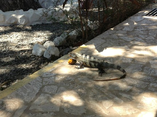 Hotel Laguna Mar: My iguana friend having a snack of mango