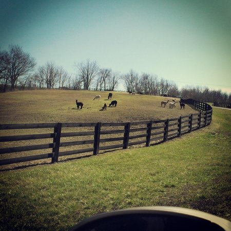 Springfield, KY: Alpacas in the front pasture