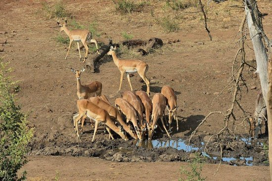 Royal Madikwe Exclusive Safari Residence: Impala at waterhole