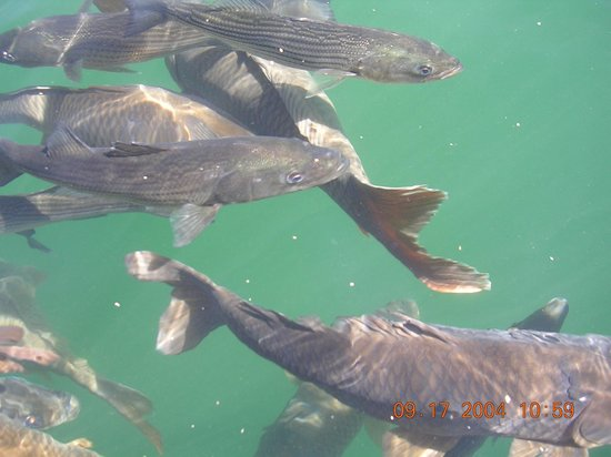 Fish picture of lake mead national recreation area for Lake mead fishing guides