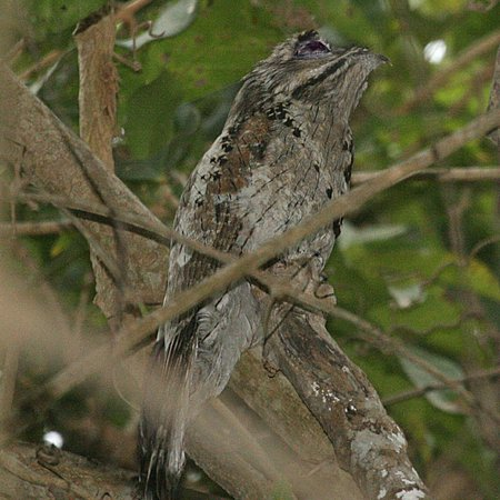 Camino Real Zaashila: Northern Potoo